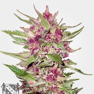 Purple Hulk Auto Feminized